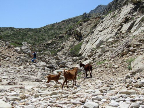 Goats at the beginning of the way back from Cala Bóquer